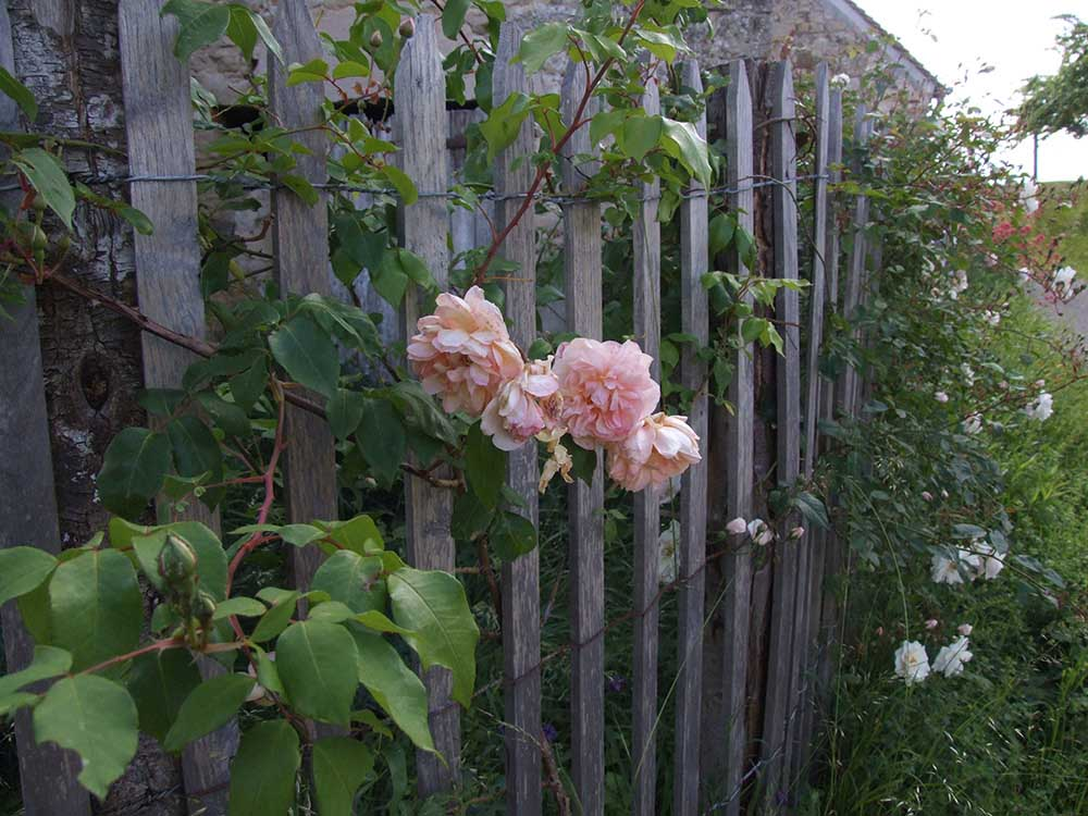 Climbing roses on a wooden fence